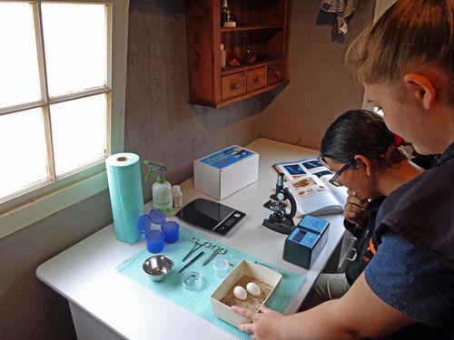 Checking fertile eggs