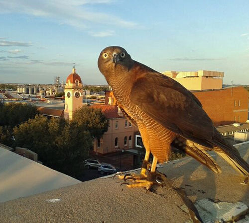 Tilley the brown goshawk performing pest control in Dubbo