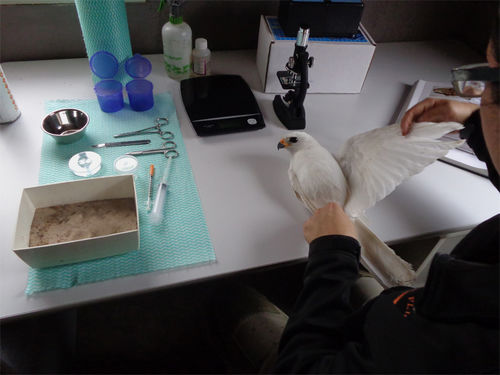 White goshawk check-up