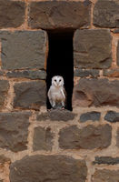 A barn owl peeks out of the mews
