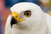 A beautiful white goshawk