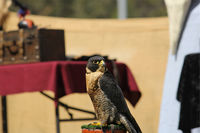 A peregrine at a falconry display