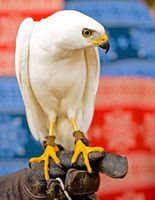 A white goshawk gives a steely glare