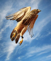 A young brown goshawk takes off