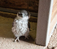 Barking owl chick