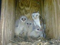 Barn owl chicks with mum
