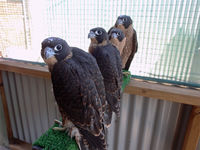 Fledgling peregrine falcons