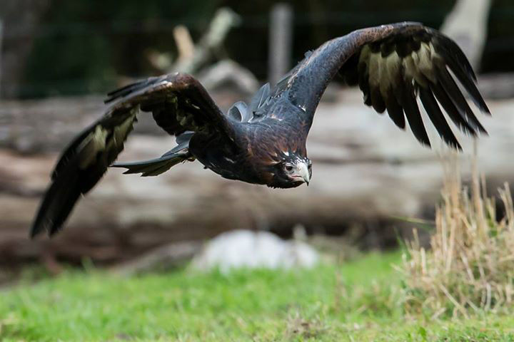 A wedge-tailed eagle soars by